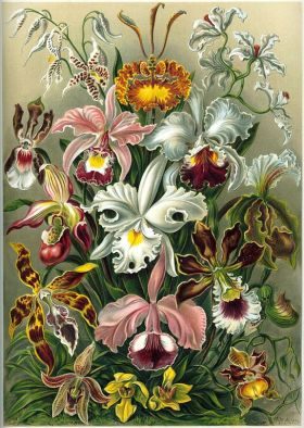 "Colour plate ""Orchids"" from German biologist Ernst Haeckel's Kunstformen der Natur"