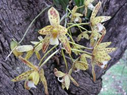 Queensland Orchids in Wikipedia