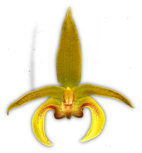Bulb. Wilmar Galaxy Star 'Enchantment' HCC/QOS 1997