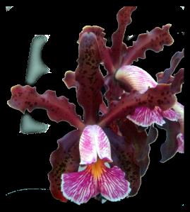 C. schilleriana 'Moya' AM/QOS