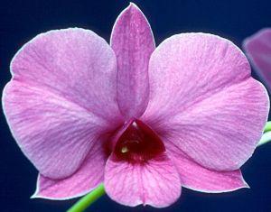 Dendrobium bigibbum var. superbum 'Samantha Louise'