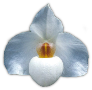 Paph. Armeni White 'Jan' HC/QOS 1996