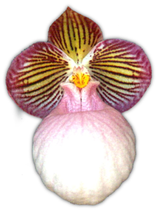 Paph. micranthum 'Rubers Delight' AM/QOS 1998