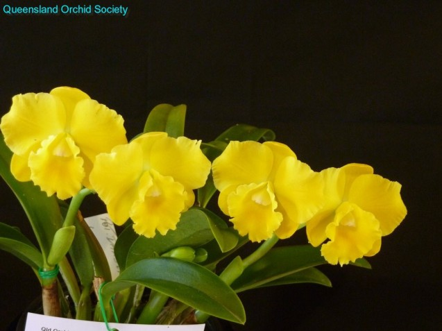 [Champion Cattleya Hybrid] Pot. Dal's Emperor 'Michelle' by R. Greinke