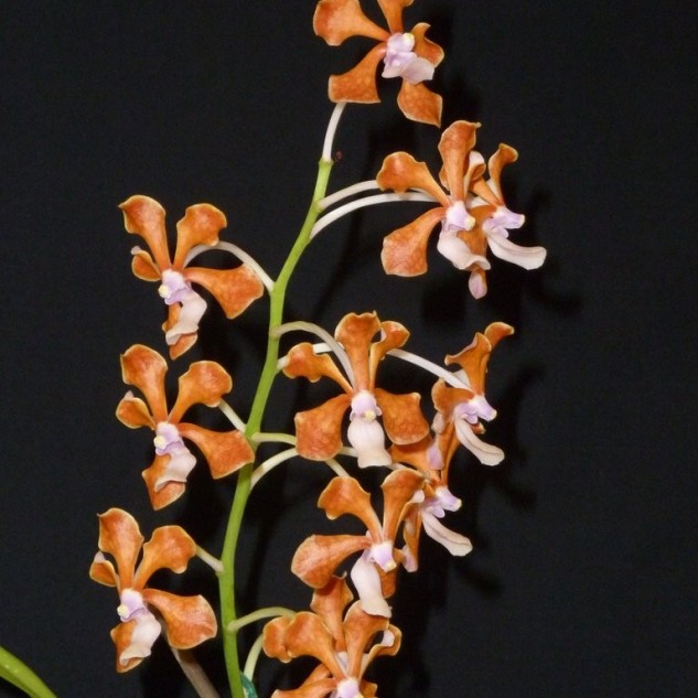 [Champion Species Orchid Exotic] V. perplexa by G Yong Gee