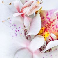 Orchid Mantis: Imitation and Disguise