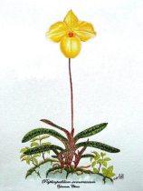 Paphiopedilum armeniacum (painted)