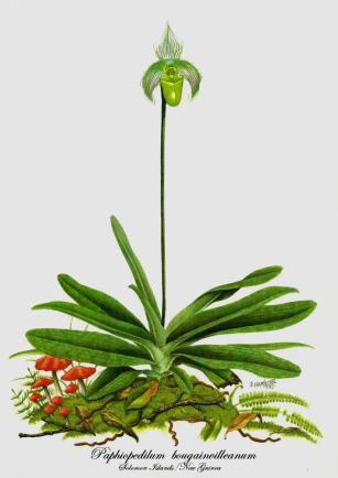 Paphiopedilum bougainvilleanum (painted)