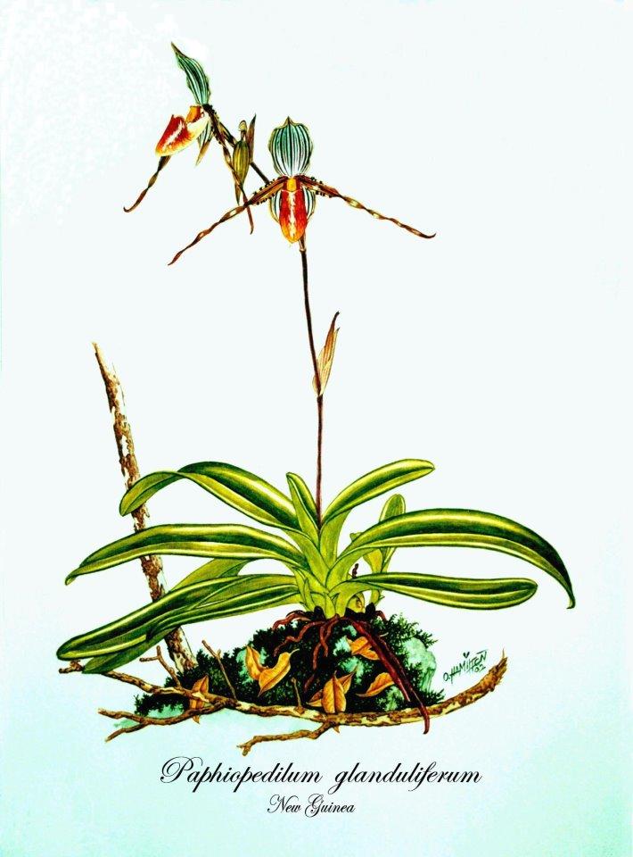 Paphiopedilum glanduliferum (painted)