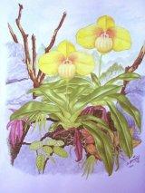 Paphiopedilum hangianum (painted)