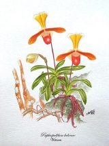 Paphiopedilum helenae (painted)