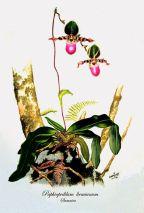 Paphiopedilum liemianum (painted)