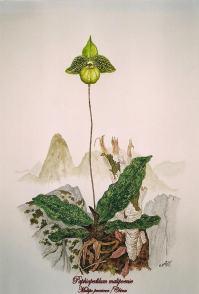 Paphiopedilum malipoense (painted)