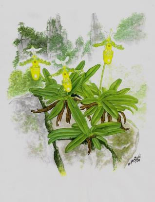 Paphiopedilum (painted) (2)