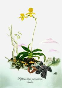 Paphiopedilum primulinum (painted)