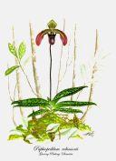 Paphiopedilum robinsonii (painted)