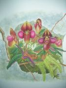 Paphiopedilum rungsuriyanum (painted) (1)