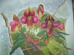 Paphiopedilum rungsuriyanum (painted) (2)