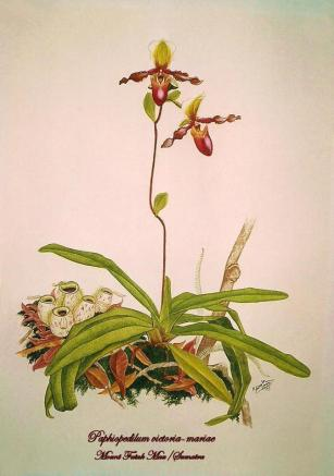 Paphiopedilum victoria-mariae (painted)