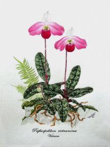 Paphiopedilum vietnamense (painted)