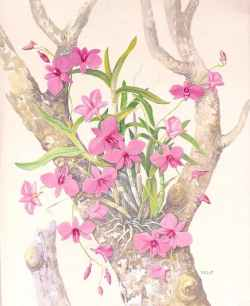 Cooktown Orchid: Floral Emblem of Queensland, Australia