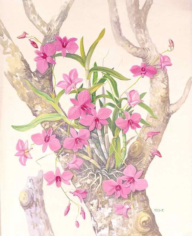 Cooktown_Orchid
