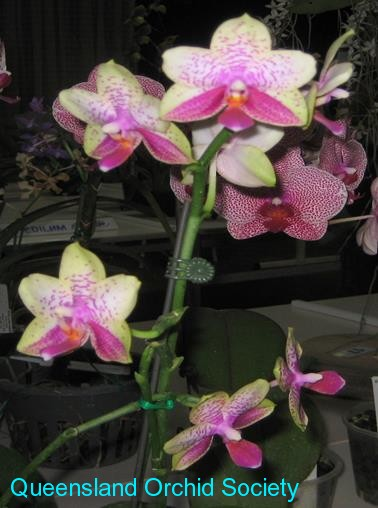 Phal. Universal Dream by M Tierney