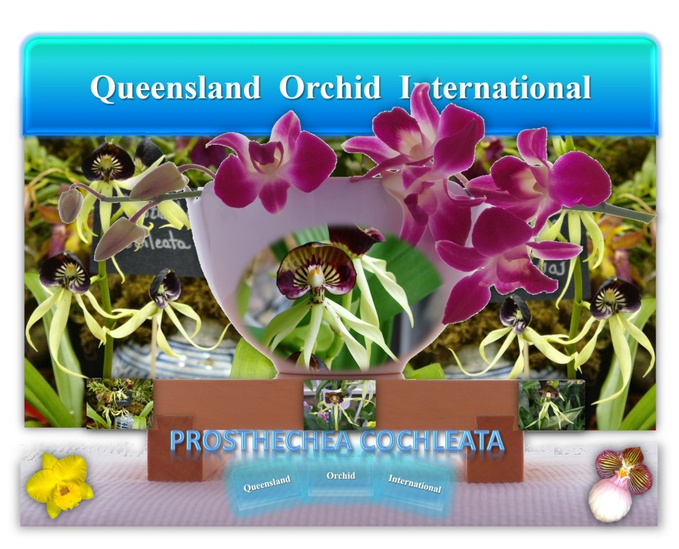 Queensland Orchid International Prosthechea cochleata