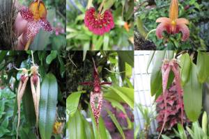 Bulbophyllum Gallery