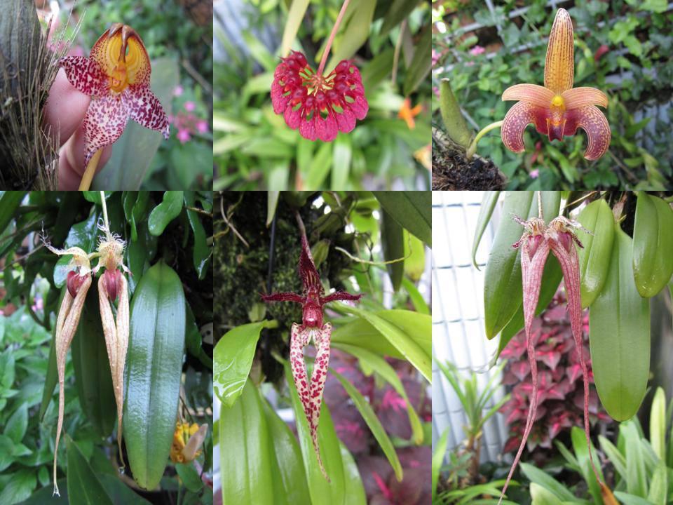 Bulbophyllum Gallery