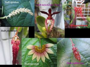 Bulbophyllum Gallery 2