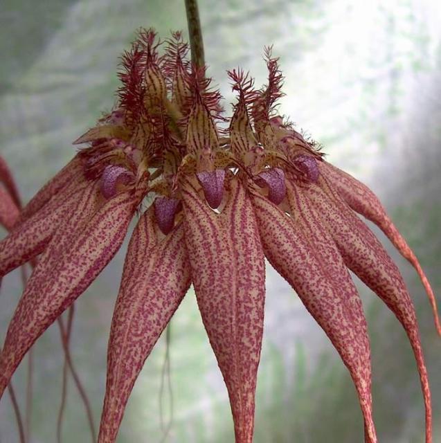Cirrhopetalum (Bulbophyllum) Lovely Elizabeth