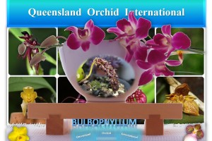 Queensland Orchid International Bulbophyllum