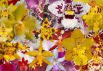 Oncidium Intergeneric (Dancing Lady) Orchids