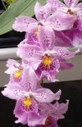 Oncidium Intergeneric Orchid 2