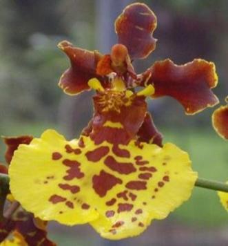 Oncidium Intergeneric Orchid 3