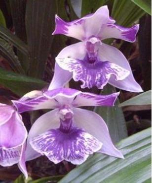 Oncidium Intergeneric Orchid 4