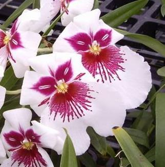 Oncidium Intergeneric Orchid 5