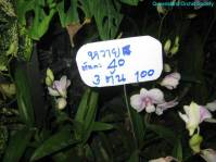 Thailand Orchids with the Illingworths (22)