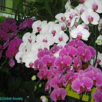 Thailand Orchids with the Illingworths (26)