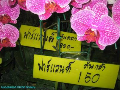 Thailand Orchids with the Illingworths (27)