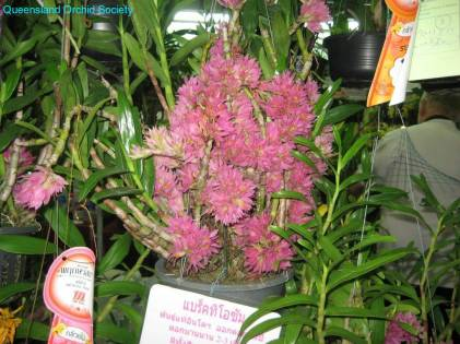 Thailand Orchids with the Illingworths (29)