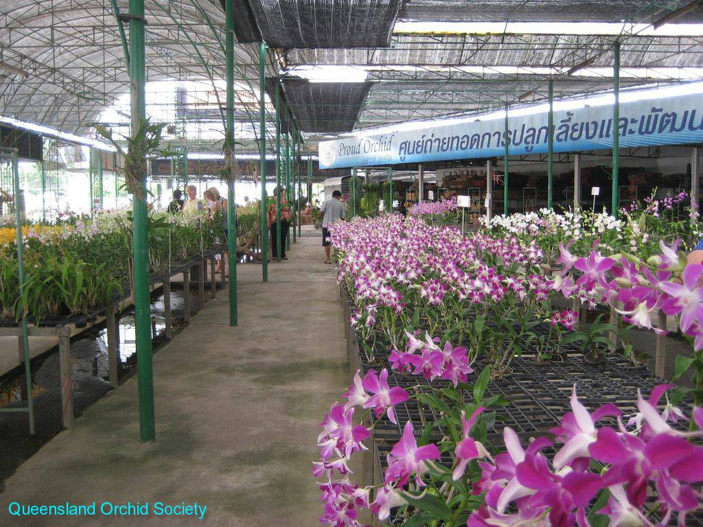 Thailand Orchids with the Illingworths (31)