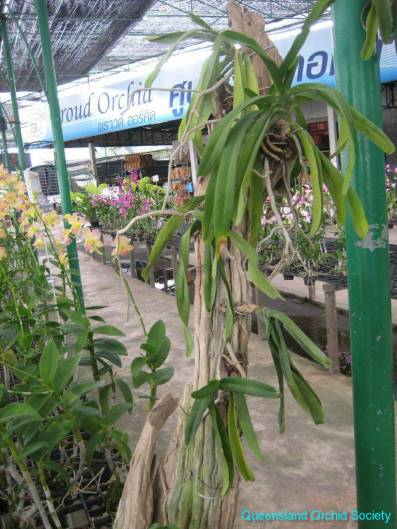 Thailand Orchids with the Illingworths (35)