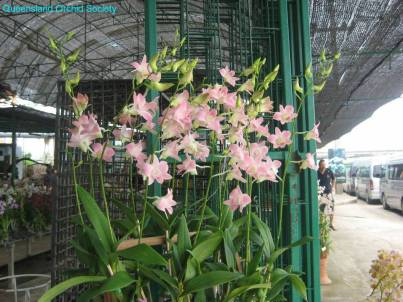 Thailand Orchids with the Illingworths (39)