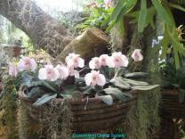 Thailand Orchids with the Illingworths (6)