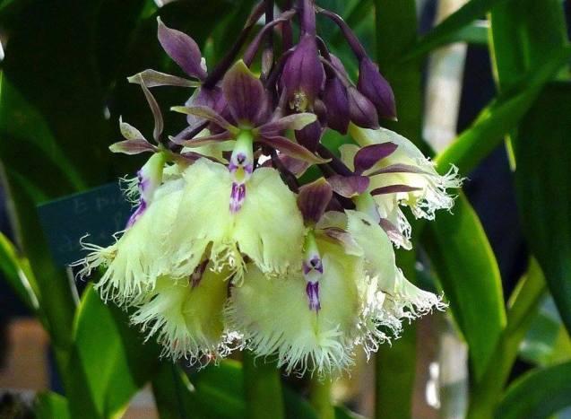 Epidendrum ilense