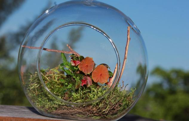 Lepanthes telipogoniflora grown in the glass orb (1)
