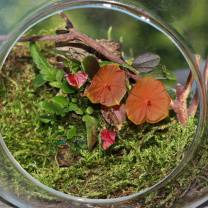 Lepanthes telipogoniflora grown in the glass orb (4)