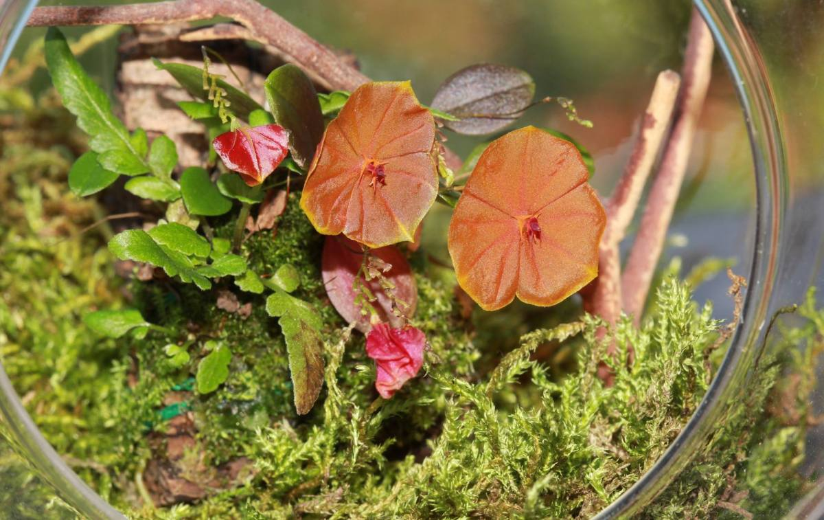Lepanthes telipogoniflora grown in the glass orb (7)